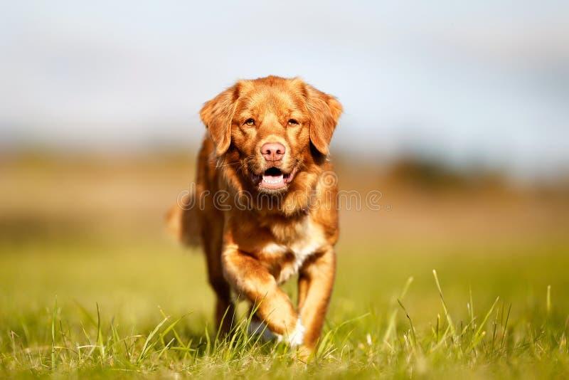 新斯科舍鸭子敲的猎犬 库存照片