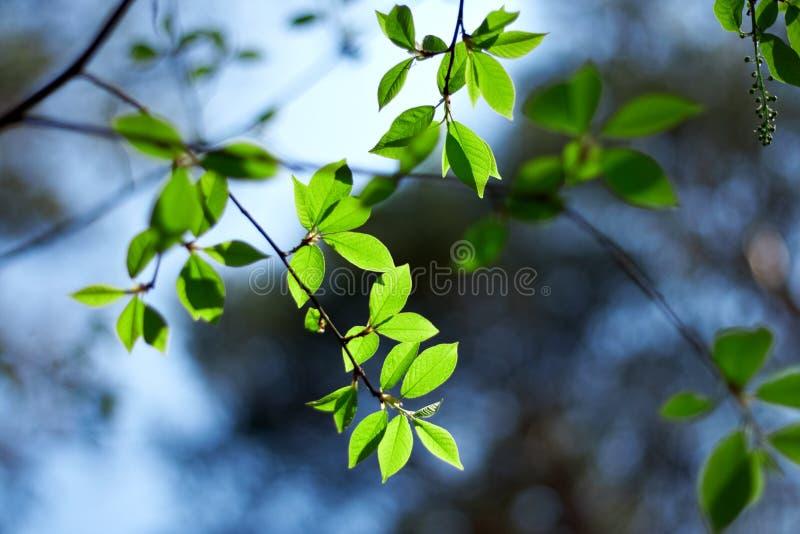 新新鲜的绿色的叶子 免版税库存图片