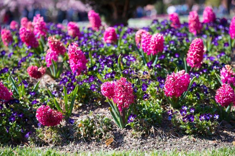 新早期的春天紫色和桃红色风信花电灯泡 免版税库存照片