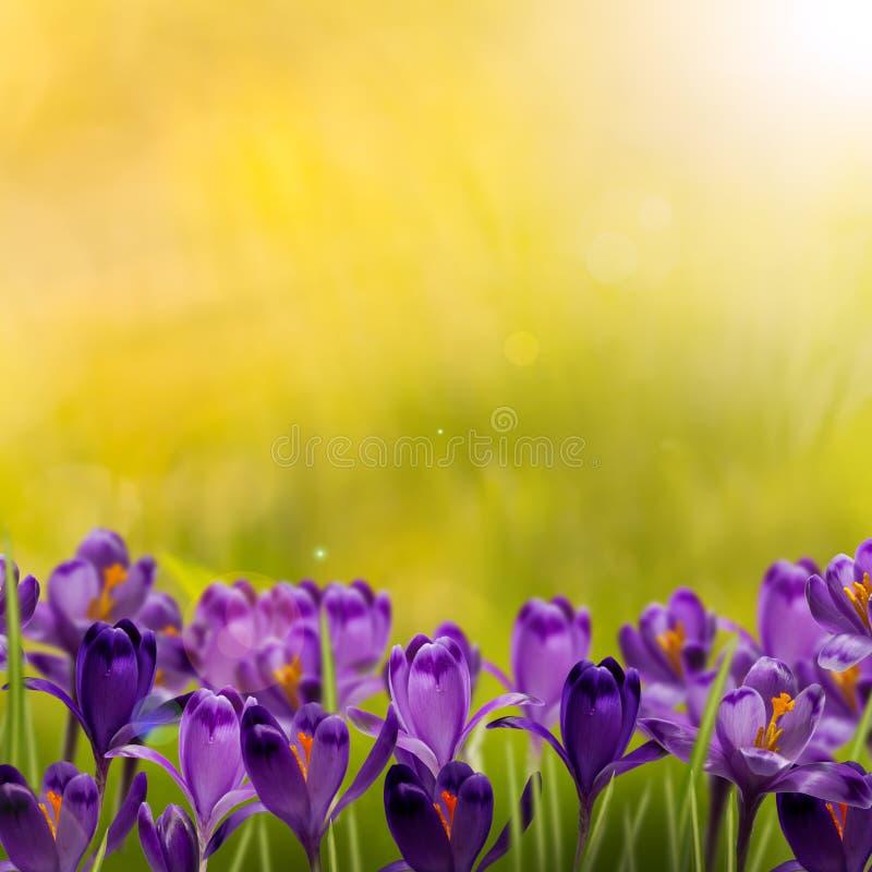 新春天背景开花番红花 库存图片