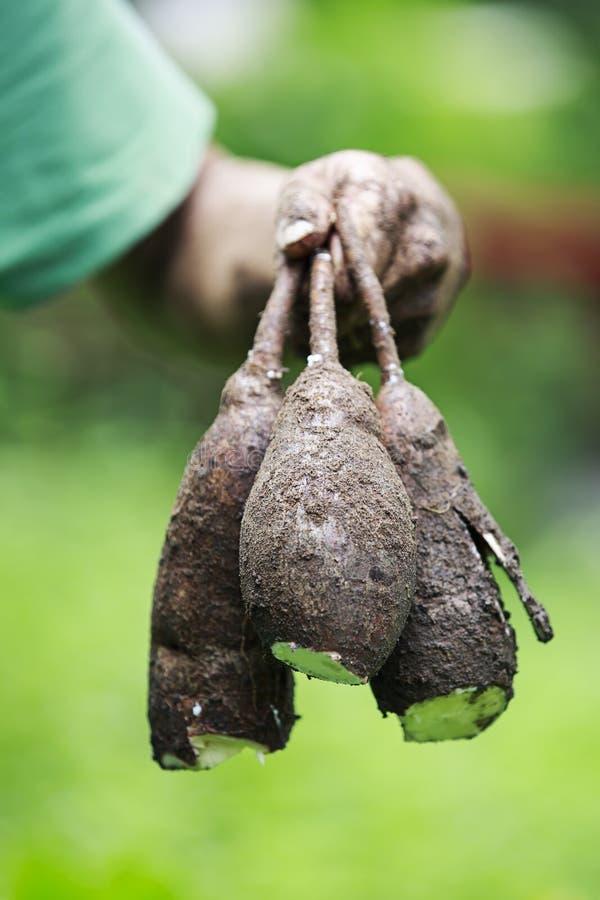 新木薯根 库存照片
