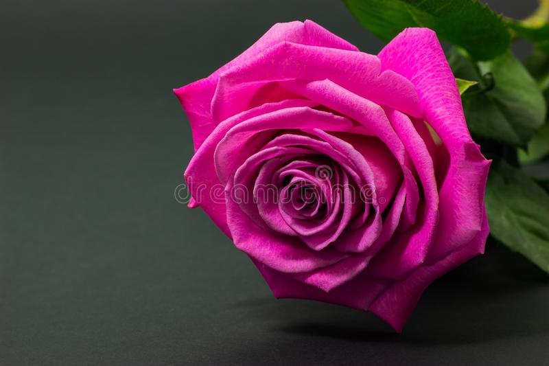 新桃红色在黑暗的背景花卉背景上升了紧密  免版税图库摄影