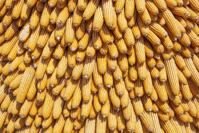 新玉米头 库存图片