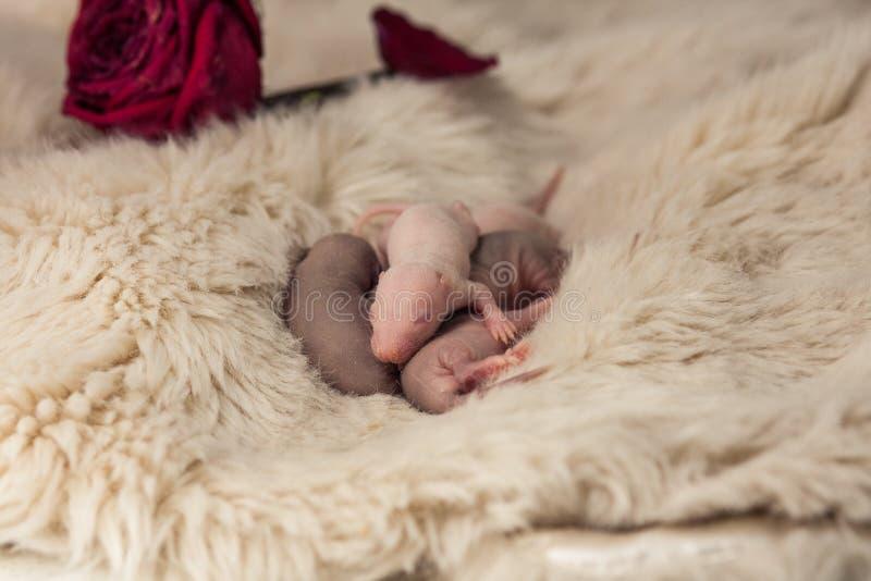 新生儿鼠特写镜头 老鼠孩子睡着 免版税库存照片