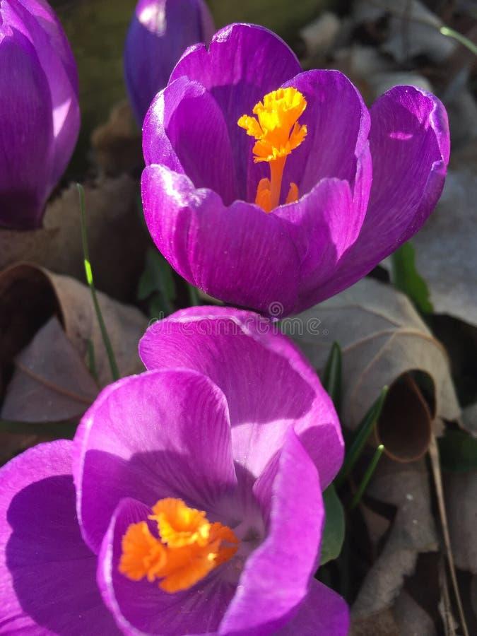 新的季节紫色春天花 库存照片