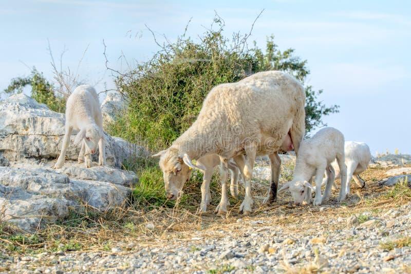 新的小羊羔 免版税库存图片