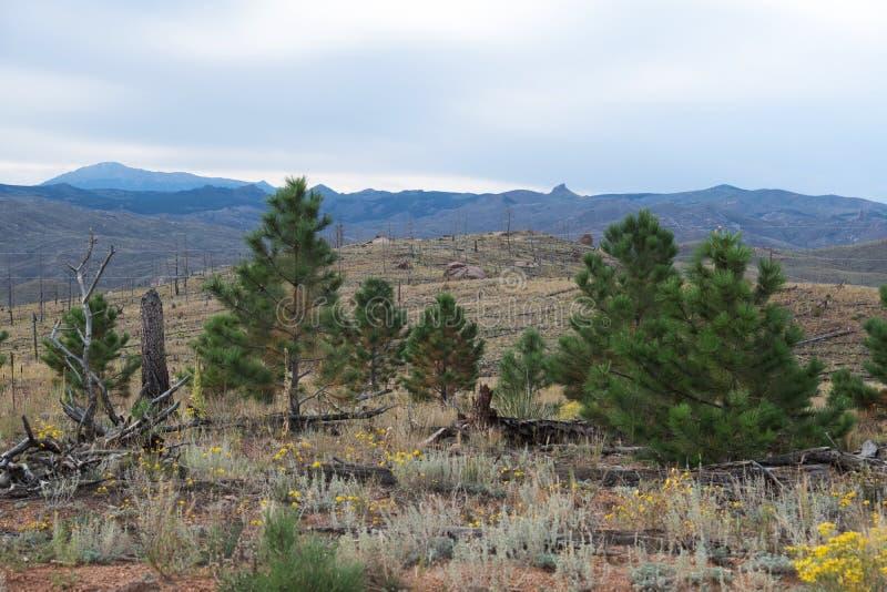 新的成长和被烧的树在森林火灾以后 免版税图库摄影