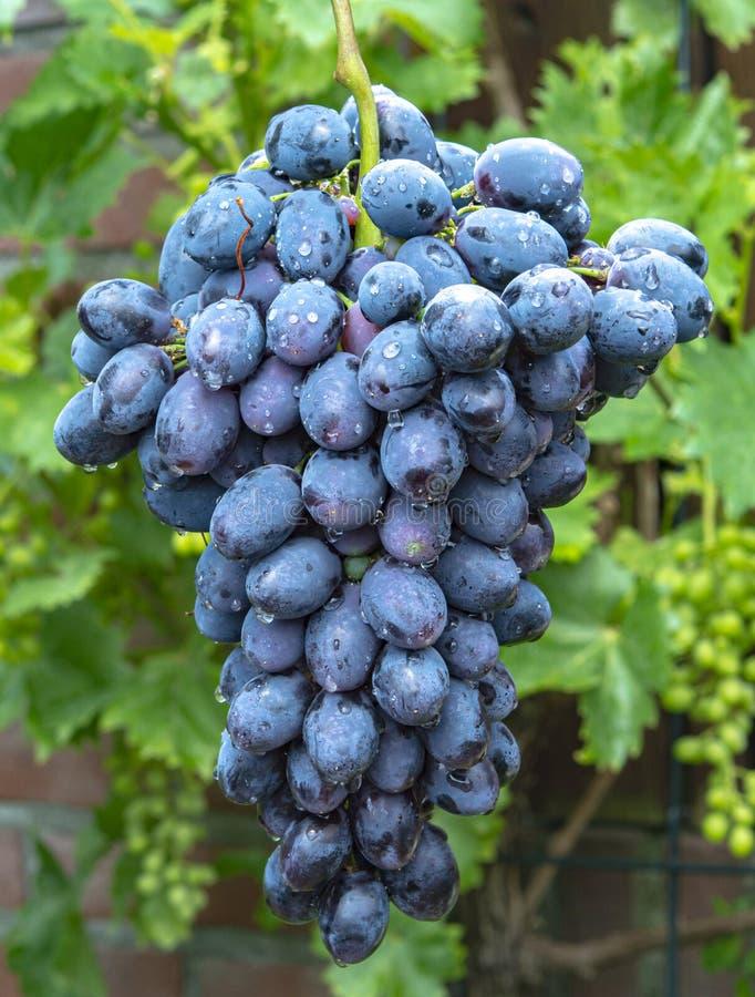 新的收获蓝色,紫色或者红酒或食用葡萄,束在绿色葡萄植物背景的成熟葡萄 图库摄影