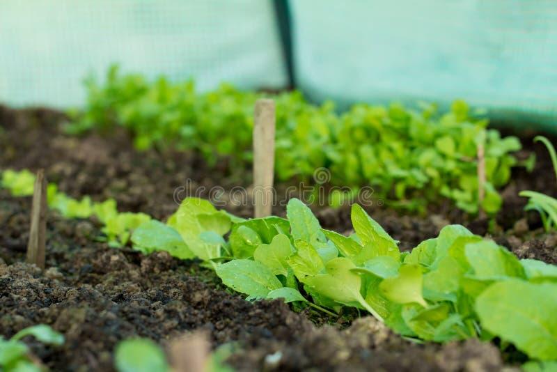 新的新鲜的沙拉幼木自温室 免版税库存图片