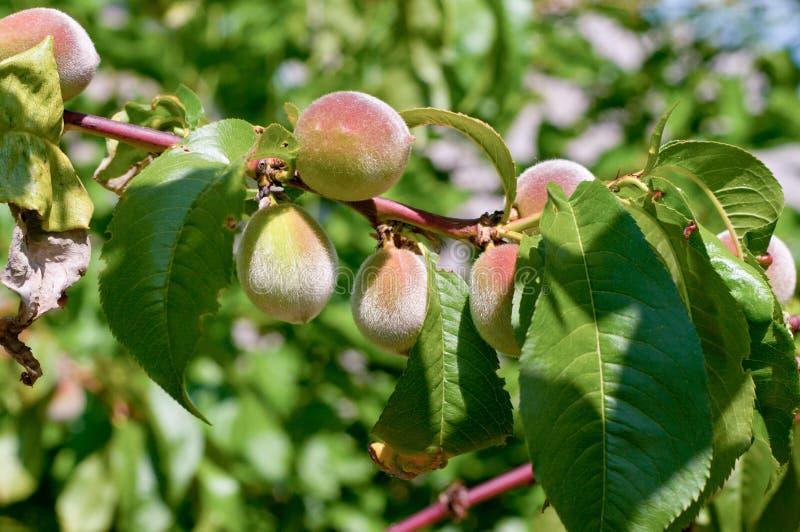 新的桃子 免版税库存照片