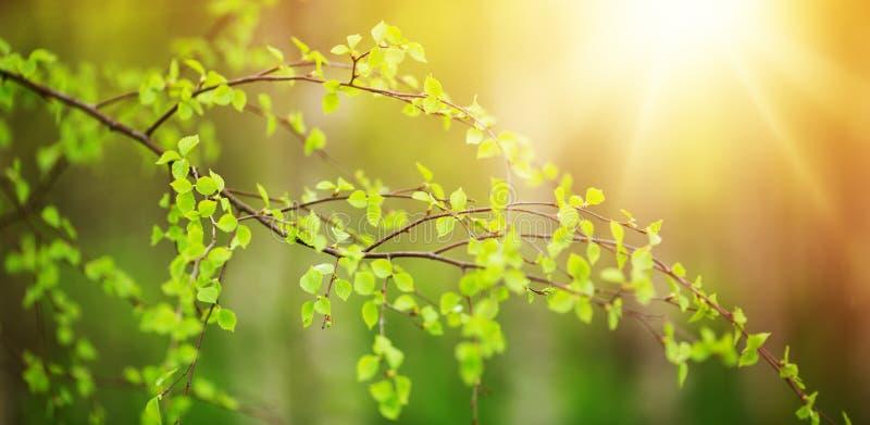 新的桦树叶子 免版税库存照片