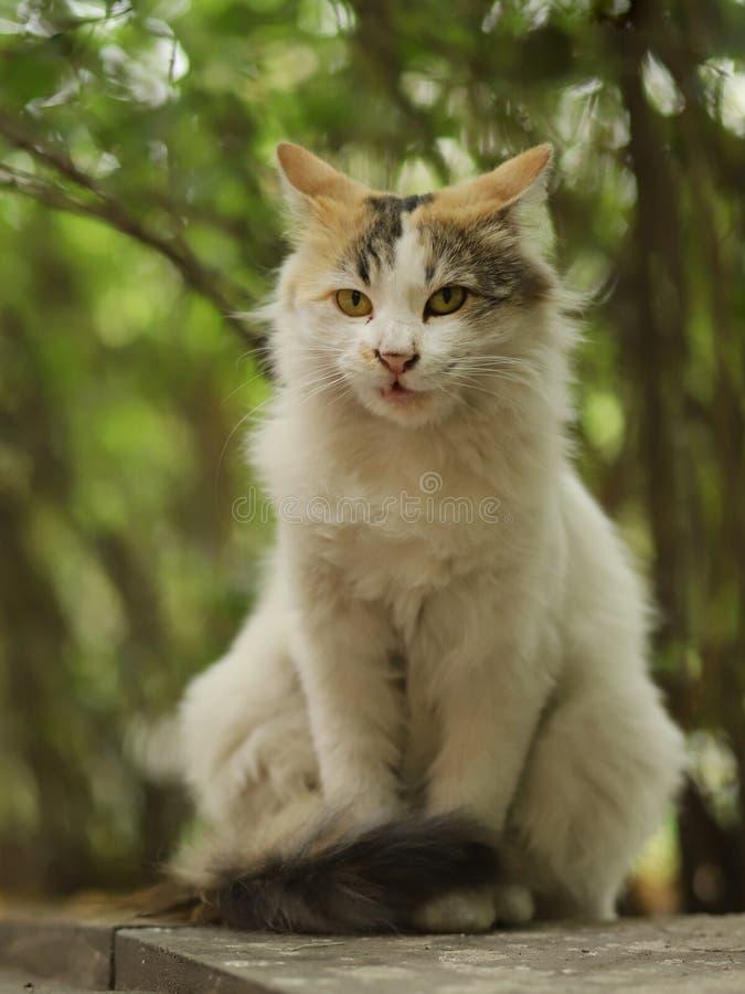 2018新的照片,恼怒的逗人喜爱的棕色白色长的头发迷路者猫 库存照片