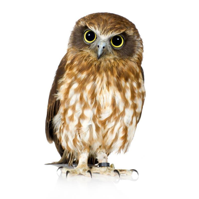 新的猫头鹰西兰 免版税库存照片