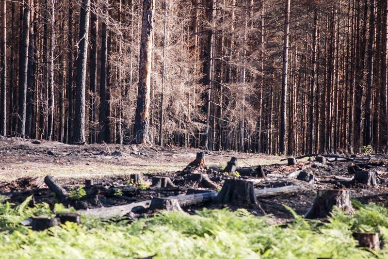 新的生活在有黑树桩和绿色蕨的被烧的区域在森林火灾以后的阳光下 库存图片