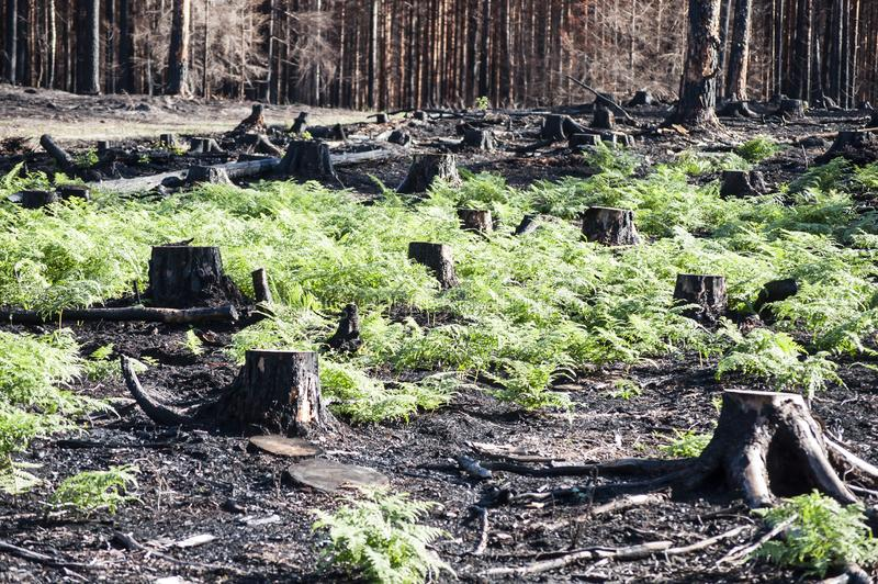 新的生活在有黑树桩和绿色蕨的被烧的区域在森林火灾以后的阳光下 免版税图库摄影