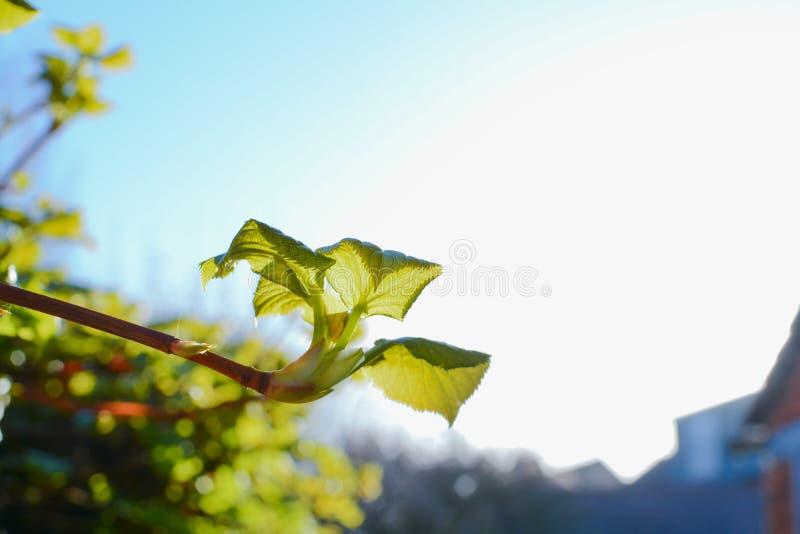 新的生长在庭院里的灌木和射击 库存照片
