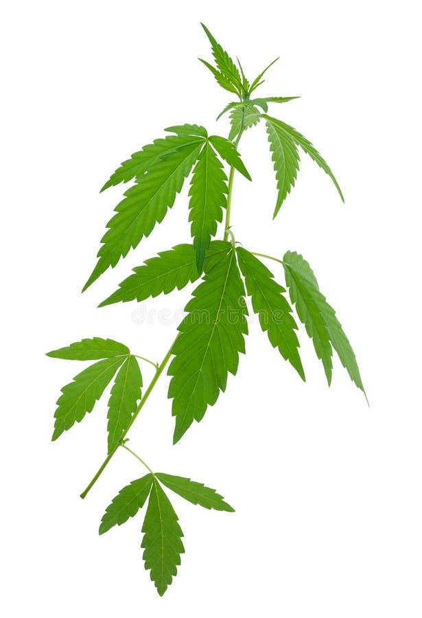 年轻新的生长大麻(大麻)植物 免版税库存照片