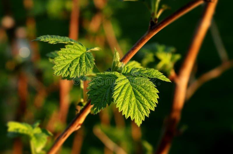 新的绿色在复盆子灌木丛小分支离开在我们的庭院的 这夏天,并且新的植物上升  库存照片