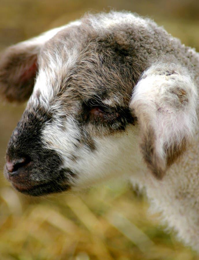 新的羊羔 库存图片