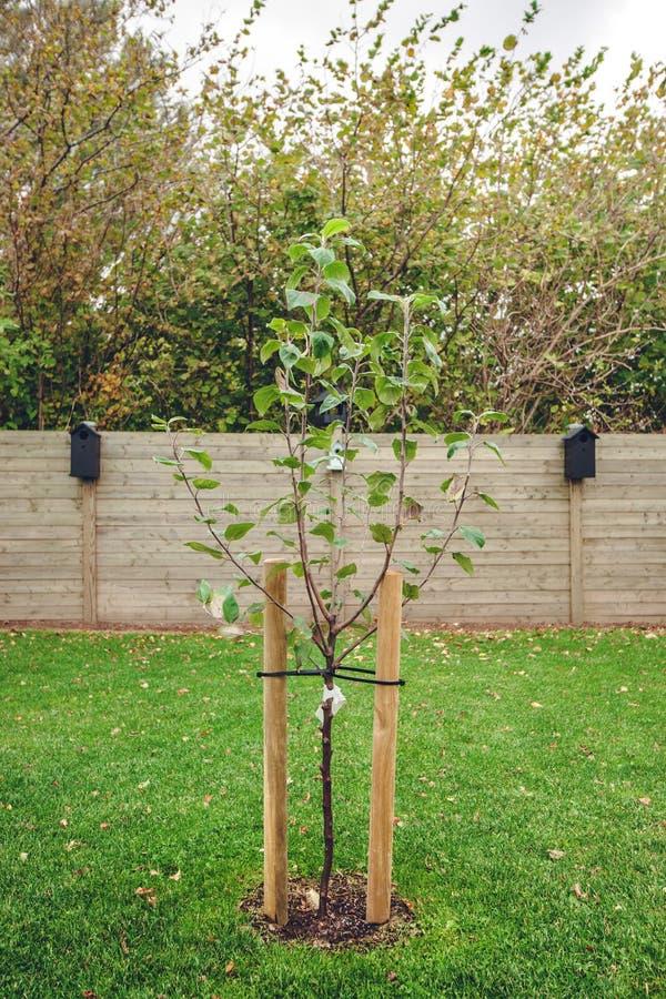 新的被种植的苹果树在庭院里 库存图片