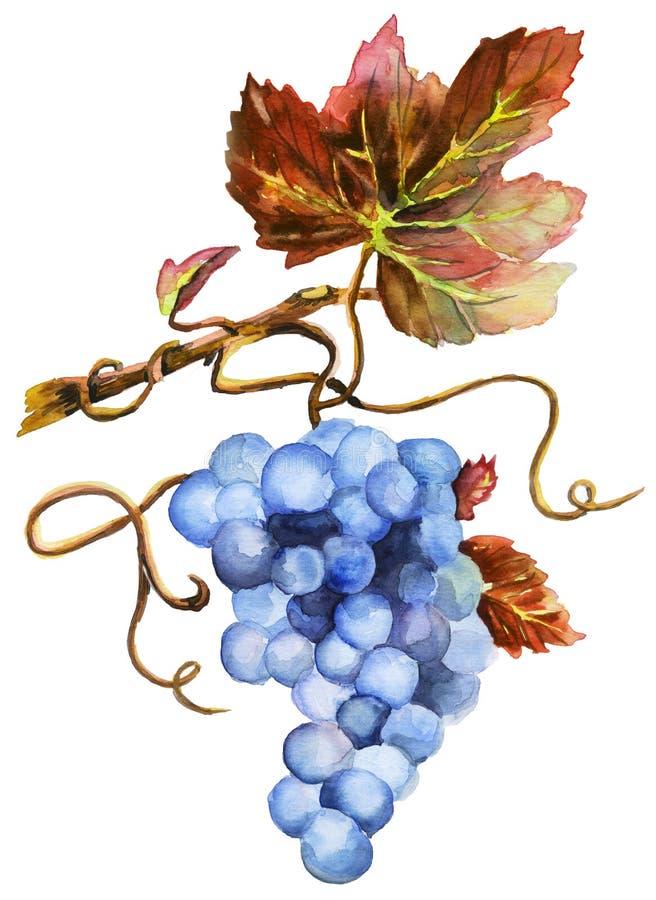 新的酒博若莱红葡萄酒nouveau,水彩 向量例证