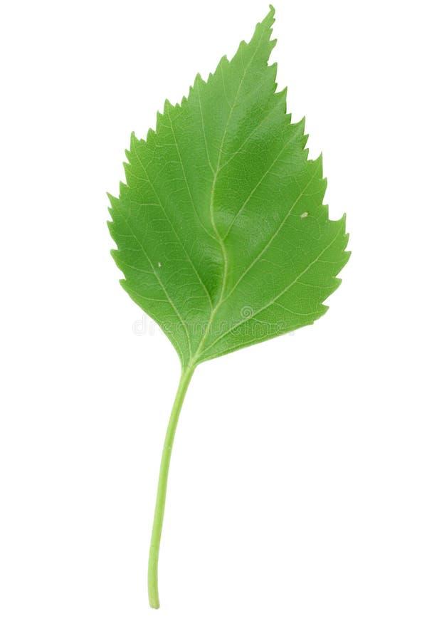 新绿色叶子宏指令 图库摄影