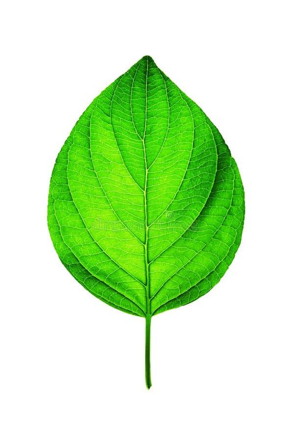 新绿色叶子白色 库存图片