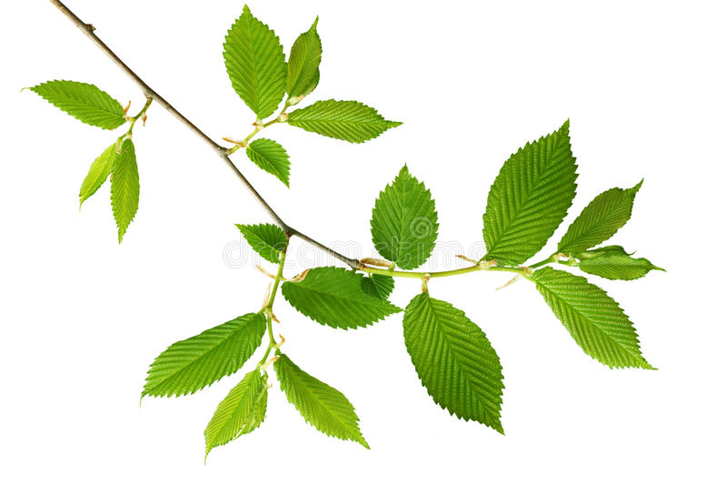 新绿色叶子 库存照片