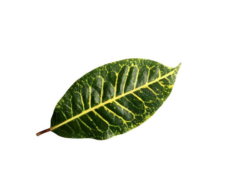 新绿色在白色背景隔绝的混合黄色叶子 免版税库存照片