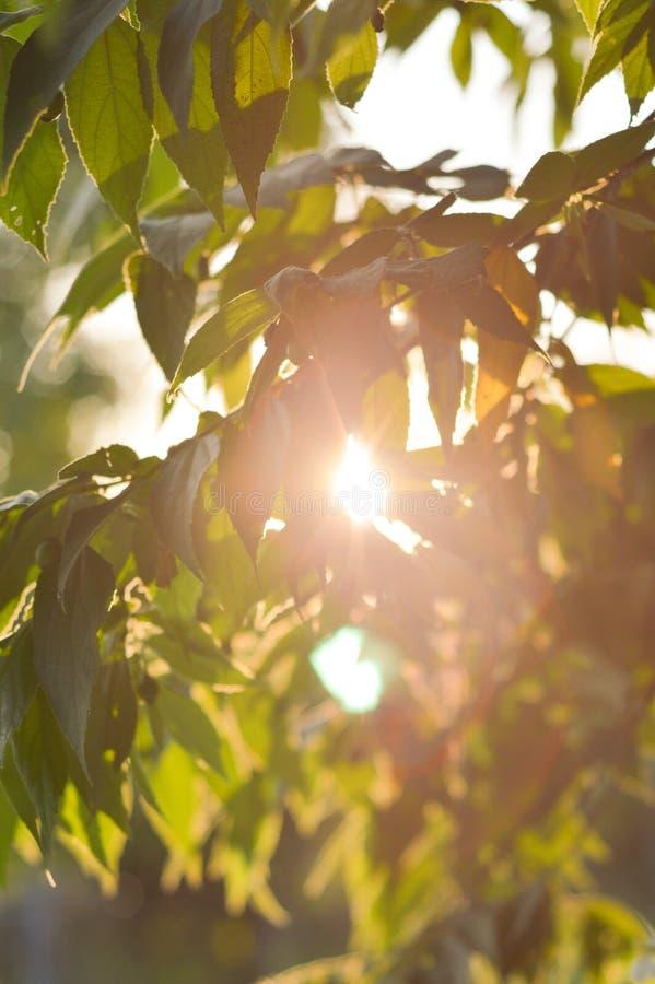 新绿色大风子科rukam在自然庭院离开 免版税库存照片