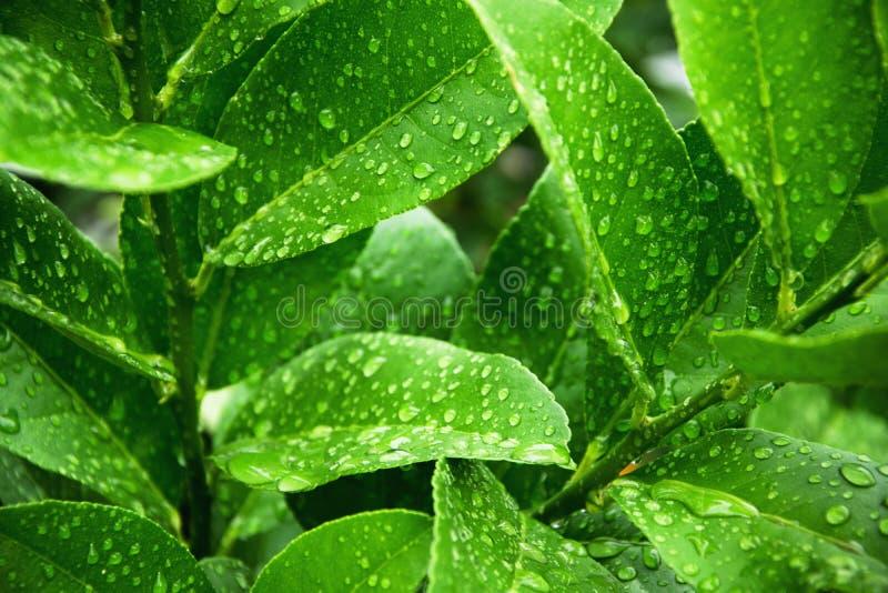 新绿色宏观射击离开与雨珠 库存图片