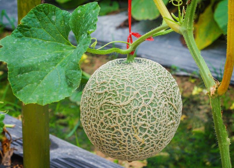 新绿色瓜网的关闭,岩石瓜与生长自温室的叶子植物的果子或甜瓜瓜 免版税库存照片