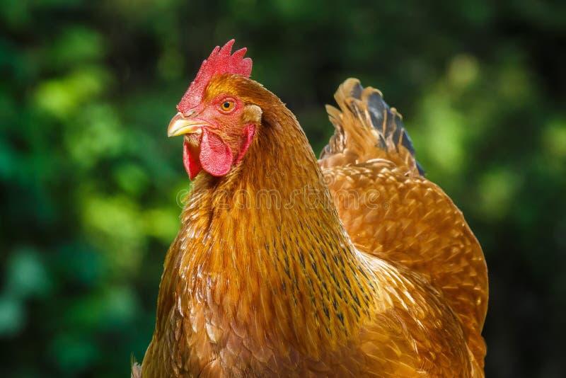 新罕布什尔母鸡 库存图片