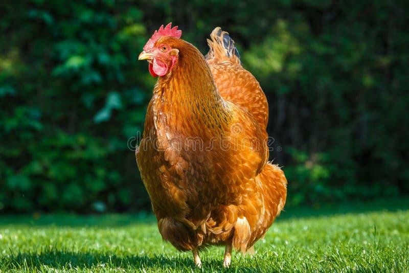 新罕布什尔母鸡 免版税库存图片
