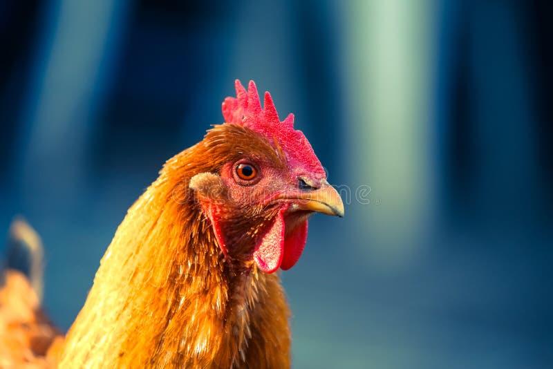 新罕布什尔母鸡 库存照片