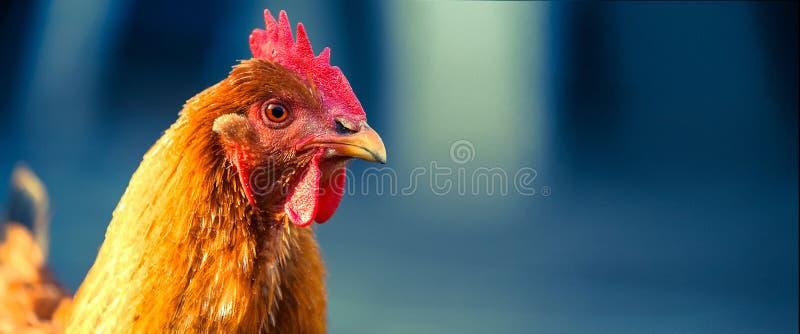 新罕布什尔母鸡 免版税库存照片