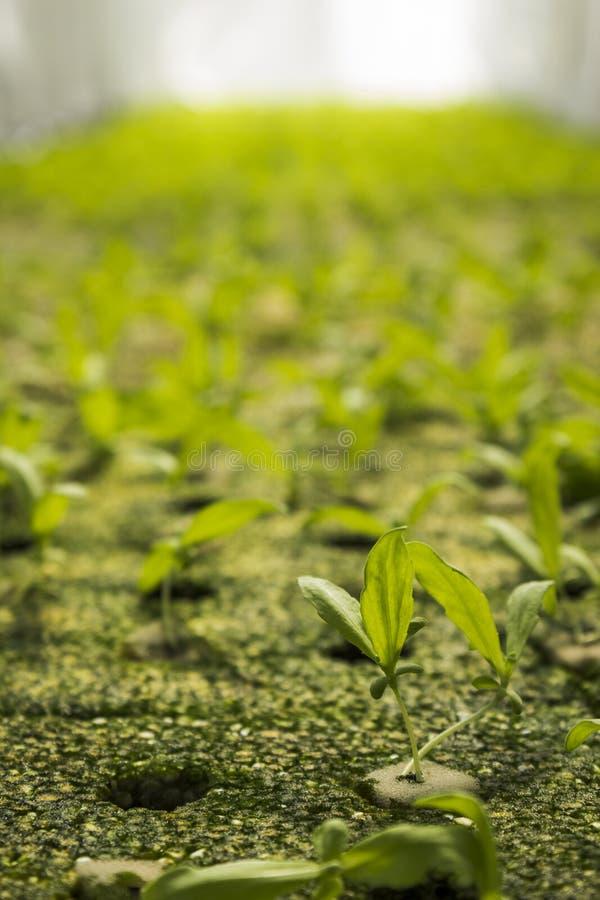 新芽在温室里 库存图片