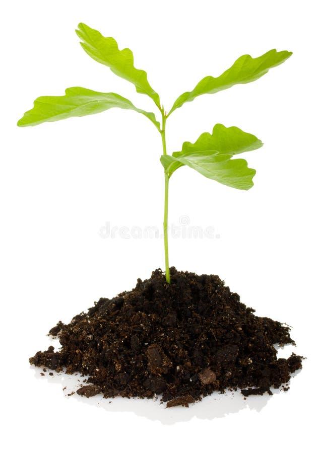 新芽橡树 免版税库存图片