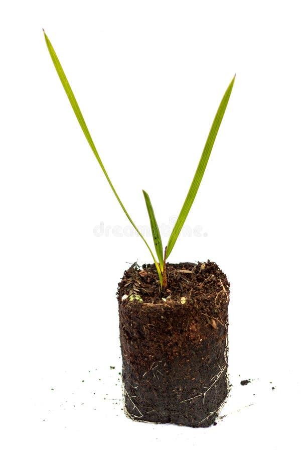 新芽菲尼斯棕榈树 库存照片