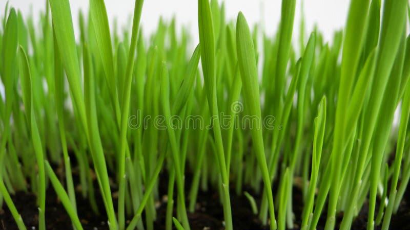 新芽麦子 免版税库存图片