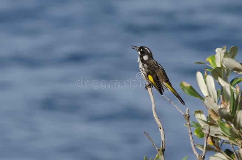 新荷兰麻雀鸟唱歌 库存照片