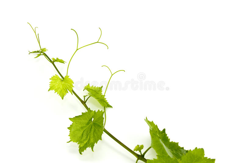 新葡萄绿色查出的叶子白色 库存图片