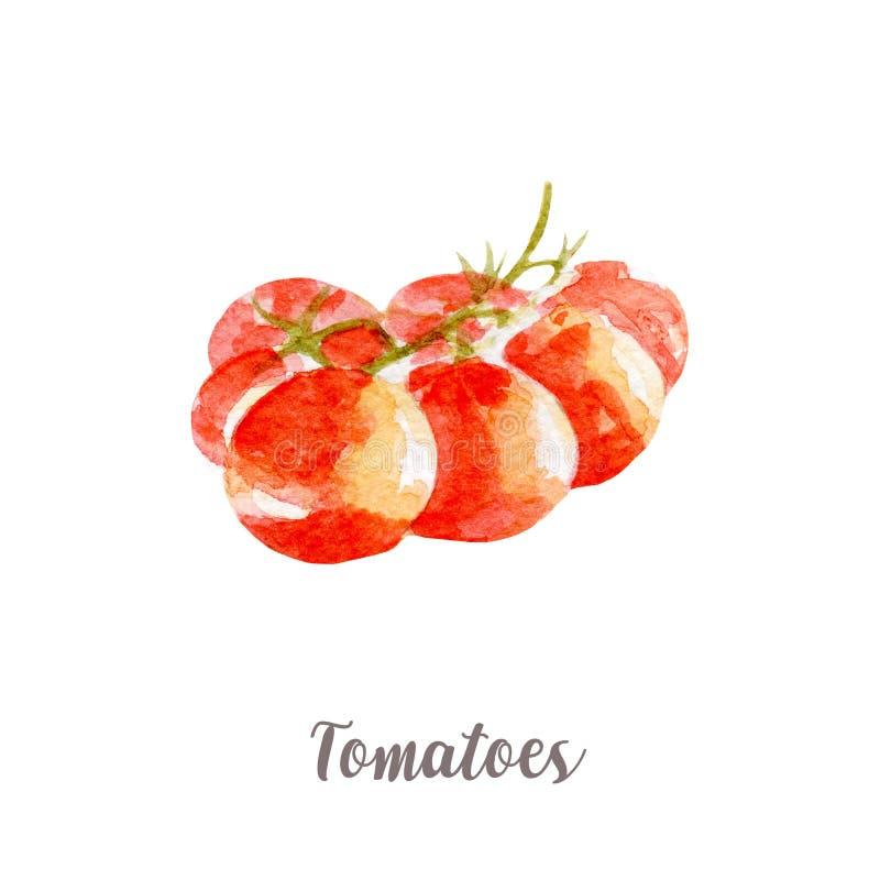 新蕃茄例证 在白色背景的手拉的水彩 皇族释放例证