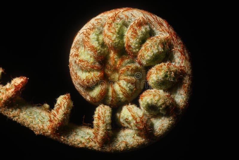 新蕨的叶子 库存图片