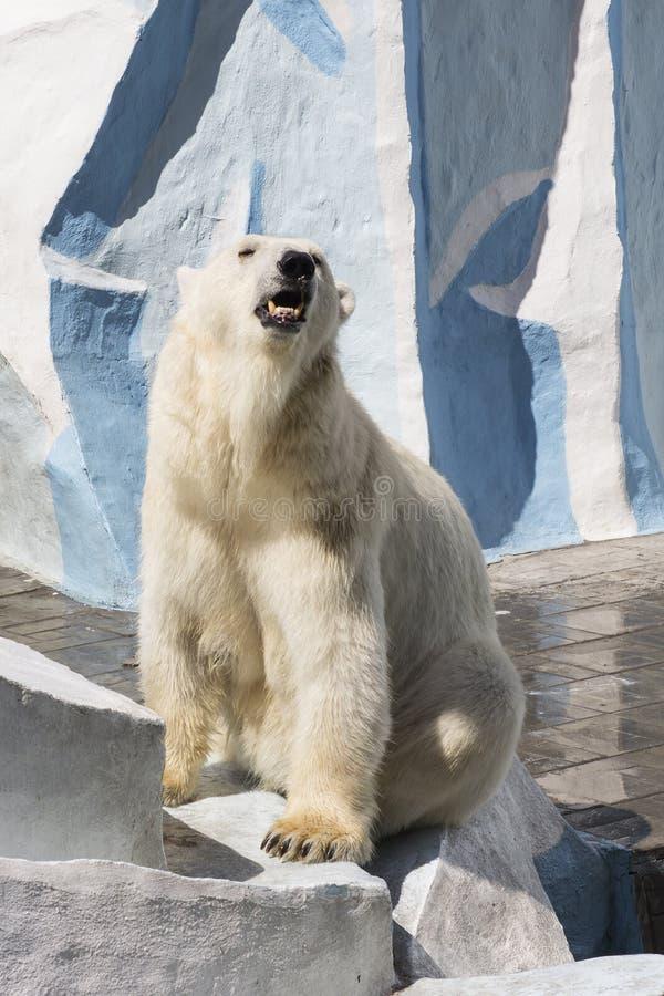 新西伯利亚动物学公园 在动物园的北极熊 免版税图库摄影