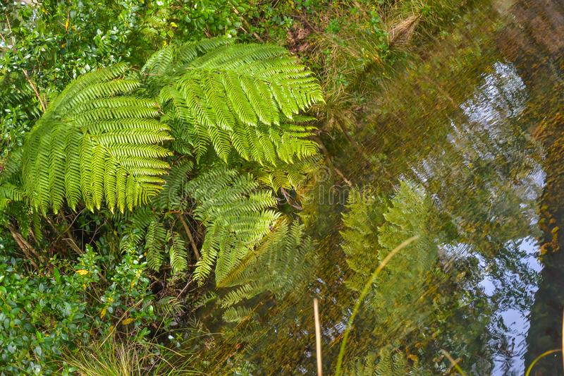 新西兰布什和蕨 库存图片