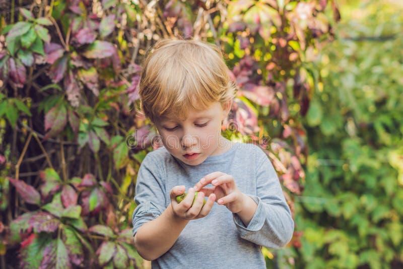 新西兰异乎寻常的食物 莓果nergi或者小猕猴桃 儿童picki 库存照片