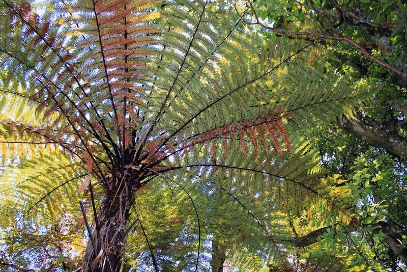 Download 新西兰树蕨 库存照片. 图片 包括有 森林, 玻色子, 灌木, 室外, 结构树, 叶状体, 西兰, 绿色 - 59107534