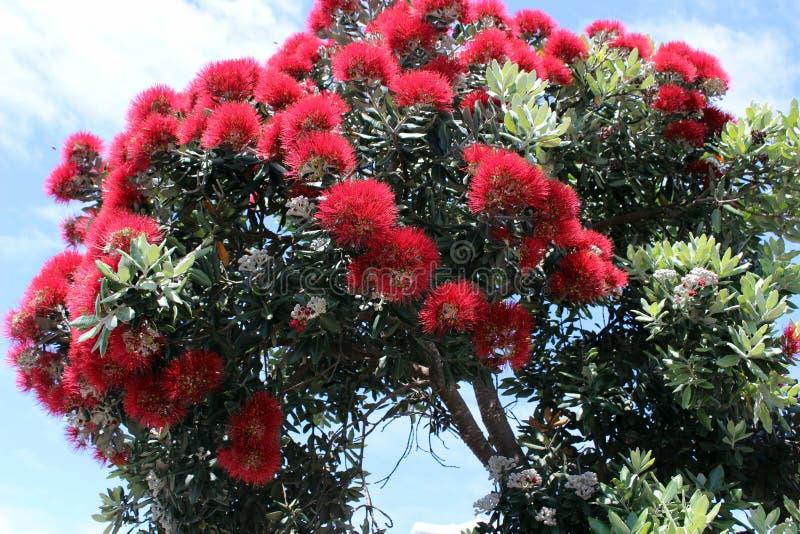 新西兰树- pohutukawa明亮的红色花  免版税库存照片