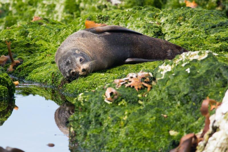 新西兰海狗 免版税库存图片